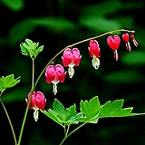 금낭화 (분홍색대품)|