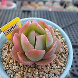 라인베리(라즈아가교배종)3-2696 Echeveria agavoides sp