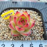 에케문스톤3-2703 Pachyphytum Oviferum Moon Stone