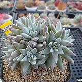 화이트그리니 자연군생(분채배송)3-2706 Dudleya White gnoma(White greenii / White sprite)