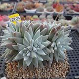 화이트그리니 자연군생(분채배송)3-2708 Dudleya White gnoma(White greenii / White sprite)