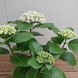 팝콘수국 꽃대|Hydrangea macrophylla