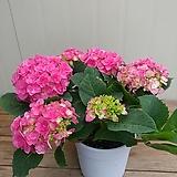 (신품종)겹수국 꽃대가득|Hydrangea macrophylla