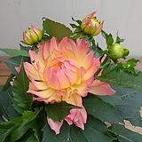(신품종)연꽃다알리아 보카시|
