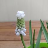 흰꽃무스카리|