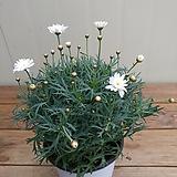 목마가렛 중픔/흰겹꽃|
