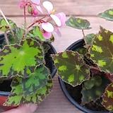 (2색)타이거베고니아|Begonia