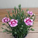 (신품종)큰꽃키세스패랭이|