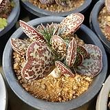 어소금|Adromischus maculatus