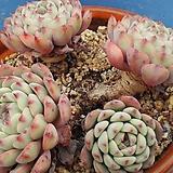 533 핑크프리티한몸|Echeveria Pretty in  Pink