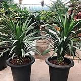 신종 드라코 공기정화 미세먼지제거식물|