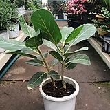 오도리 무지 고무나무|Ficus elastica
