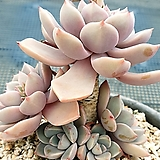 핑크프리티 목대군생|Echeveria Pretty in  Pink