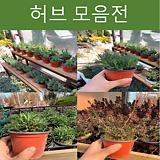 허브류 모음전(라벤더,로즈마리,호주매화등)|Rosemary