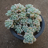 (3月)라울p31|Sedum Clavatum