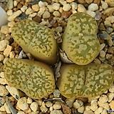 Pellucidum Neohallii 네오할리|