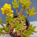 552 청솔|Sedum corynephyllum