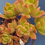 561 골든글로우한몸|Echeveria cv. Golden Glow