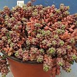 585 희성미인|Pachyphytum oviferum