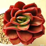 줄리아나 목대|Echeveria cv.Jyulia