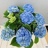 수국 (스카이블루)|Hydrangea macrophylla