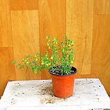 향초롱꽃(은은한향기) 