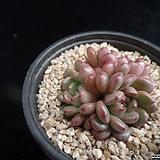 핑클루비347|Sedeveria pink rubby