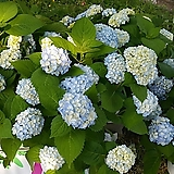 수국 기리시마노 메그미1주(20cm)