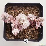 리틀장미금52|Echeveria prolifica