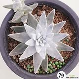화이트그리니79|Dudleya White gnoma(White greenii / White sprite)