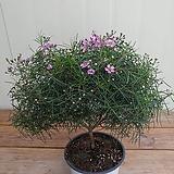 (단품)왁스플라워 외목대|Echeveria agavoides Wax