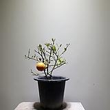 금귤나무/낑깡/과실수/3550199100/공룡꽃식물원 