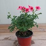 랜디제라늄 묵은둥이 소품|Geranium/Pelargonium