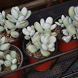 방울복랑 다육식물 Cotyledon orbiculata cv