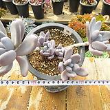 묵은 홍미인(왕대품군생목대/분홍물듬)-111|Pachyphytum ovefeum cv. momobijin