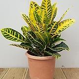 [단품할인]크로톤|Codiaeum Variegatum Blume Var Hookerianum