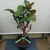외목대고무나무|Ficus elastica