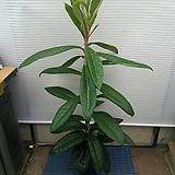 비파나무/약재로사용|