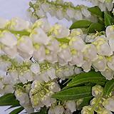 마취목  [꽃이환상입니다 ]