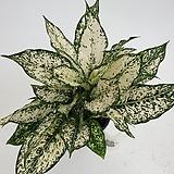 엄청 풍성한 스노우사파이어 아글레오네마 수경재배|