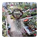 링틸란(실내공기정화식물,미세먼지 식물)|