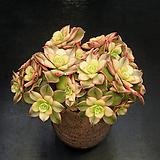 까라솔(3.23)|Aeonium decorum f variegata