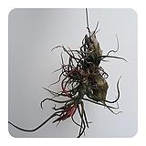 볼보사나무(공중식물, 미세먼지식물)|