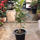 외목대 레몬나무|