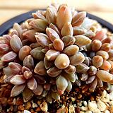 클라우쿰철화|Pachyphytum compactum var. glaucum