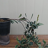 (단품)변천무늬다정큼나무 외목대|