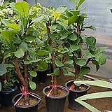 떡갈고무나무 Ficus elastica