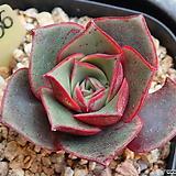 원종롱기시마 436 Echeveria longissima
