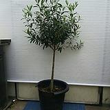 올리브나무/굵은외목대/사진상품/125센치정도|