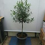 올리브나무/굵은외목대/사진상품그대로/120센치|